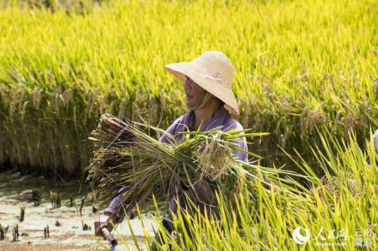 沙堤村生态水稻丰收,农民收割忙。摄影:郝亚鑫