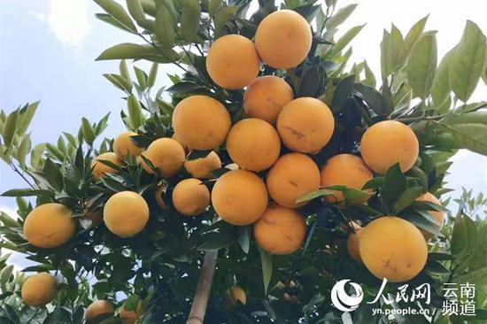 此前挂果的褚橙 供图
