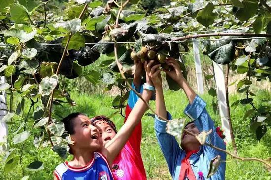 儿童争相采摘猕猴桃。