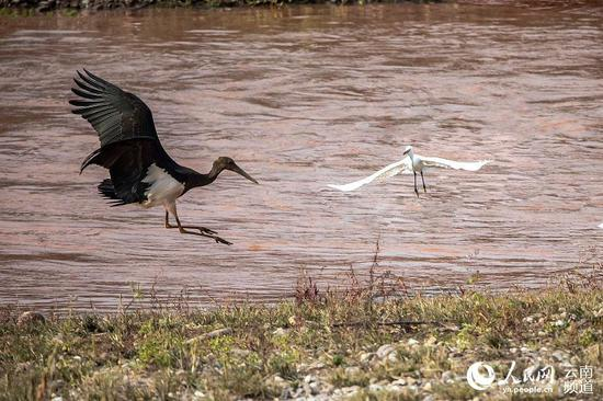 国家一级保护动物黑鹳在普洱景东出现。摄影:吴永康