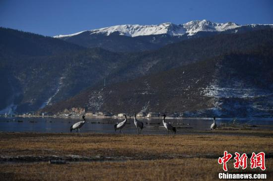 纳帕海湿地的黑颈鹤与远处的雪山相映成趣。