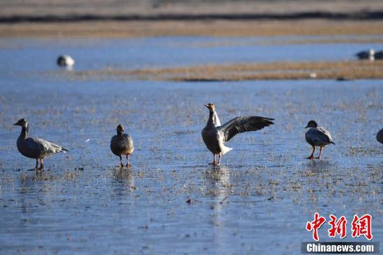 纳帕海湿地栖息的候鸟。