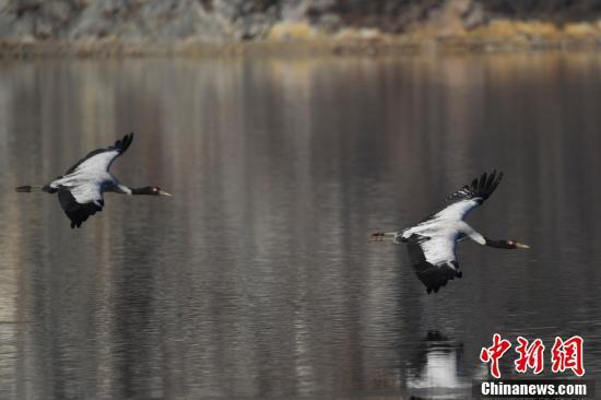 黑颈鹤在纳帕海湿地飞翔。
