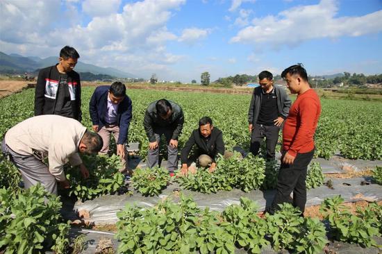 景东:释放土地活力 让冬闲农田长出希望