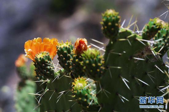 生长在峡谷底部的热带植物仙人掌(景区供图)