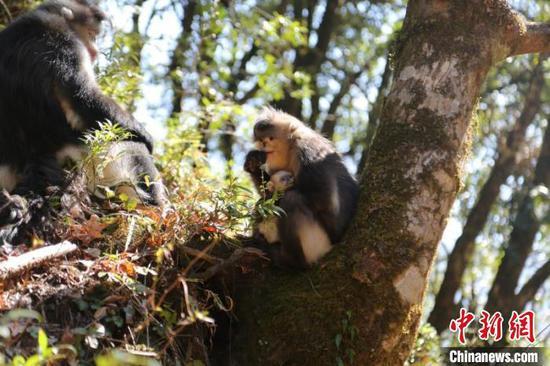 图为白脸、四丁及小婴猴一家三口 白马雪山野生动物救护站供图