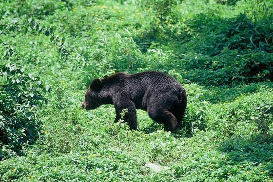 碧塔海黑熊