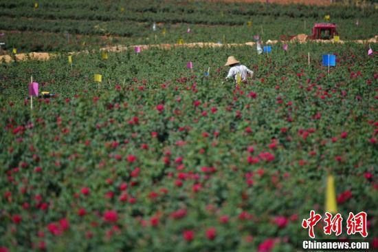 花农正在采摘食用玫瑰。
