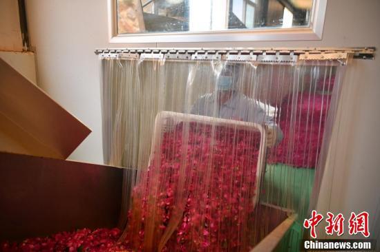 工人将玫瑰花倒入机器进行筛选。