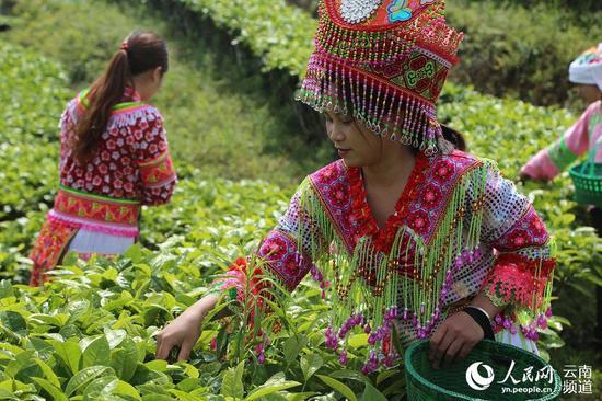 茶园里,采茶的少数民族姑娘。人民网程浩摄