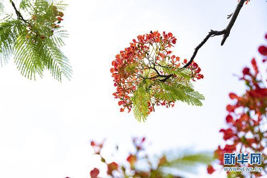 绽放的凤凰花(摄于5月29日)。新华网发(佴斌 摄)