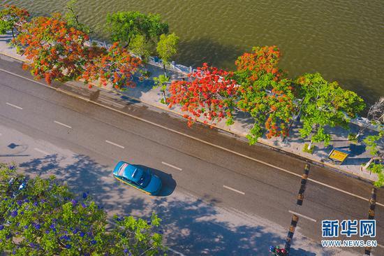 航拍蒙自市道路两旁的凤凰花(摄于5月29日)。新华网发(佴斌 摄)
