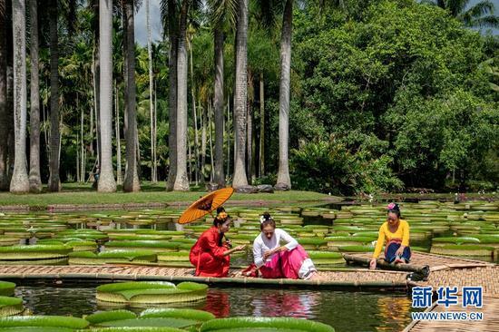 西双版纳热带植物园,王莲进入最佳观赏期(摄于6月29日)。新华网发(张娇娇 摄)