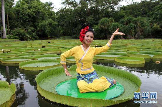 西双版纳热带植物园,王莲进入最佳观赏期,傣家姑娘莲叶上翩翩起舞(摄于7月4日)。新华网发(张娇娇 摄)