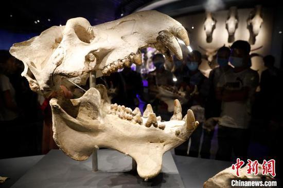 图为澄江化石地自然博物馆展出的化石。 李嘉娴 摄