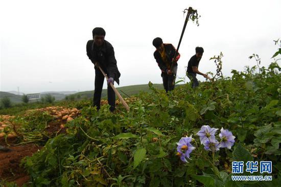 在昭阳区和永善县交界处的5万亩马铃薯高标准示范基地,村民收获马铃薯(8月8日摄)。 新华社记者 金良快 摄