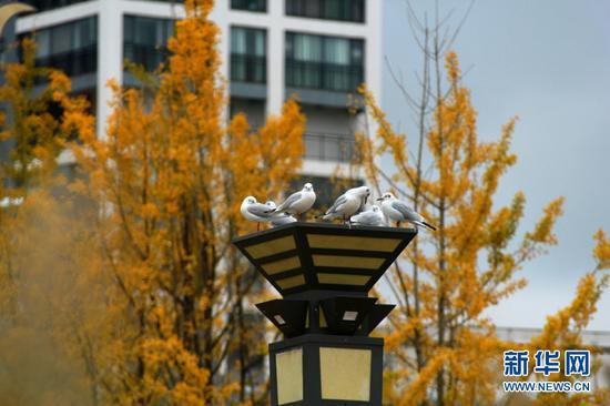 红嘴鸥在岸边休憩(11月3日摄)。新华网发