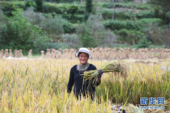 村民收割稻子(10月17日摄)。新华网发(张政伟 摄)
