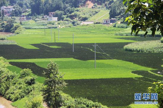 古敢水族乡红稻与其他稻米交叉种植(资料图)。新华网发(张政伟 摄)
