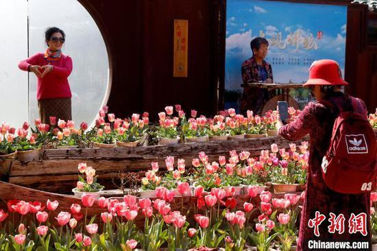 2月16日,游客在云南昆明大观公园与郁金香合影。 李嘉娴 摄