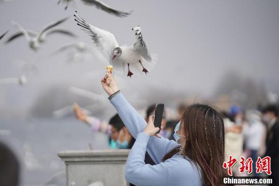 一名游客用手机抓拍红嘴鸥取食瞬间。(中新社记者 刘冉阳 摄)