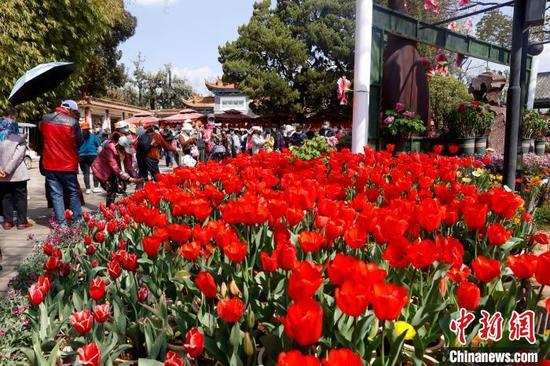 2月16日,游客在云南昆明大观公园内赏花。 李嘉娴 摄
