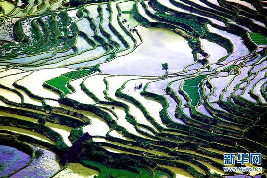 云南省红河县宝华乡万亩梯田,农民群众在撒玛坝梯田插秧。新华网发(文振效 摄)