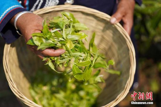 图为3月27日,普洱市墨江县茶农采摘下来的春茶。 中新社记者 杜潇潇 摄