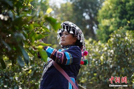 图为3月27日,普洱市墨江县的哈尼族妇女正在采茶。 中新社记者 杜潇潇 摄