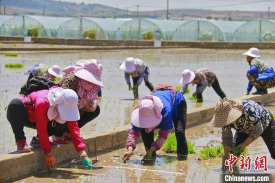 图为秧苗移栽现场,工作人员正在指导村民插秧 。 寸琦 摄