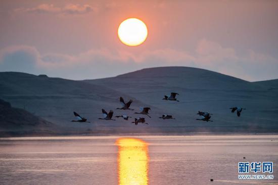 日出时分,黑颈鹤在云南省昭通市大山包黑颈鹤国家级自然保护区飞翔(2月25日摄)。新华社记者 胡超 摄