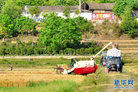 收割好的麦子装上拖拉机(5月3日摄)。新华网发(吴再忠 摄)