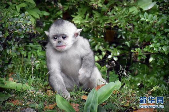 滇金丝猴(资料图)。新华网发(田维星 摄)