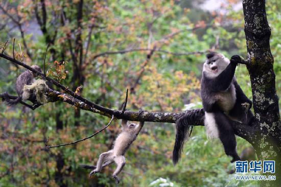 云南省迪庆藏族自治州香格里拉滇金丝猴国家公园里的滇金丝猴(2020年5月23日摄)。新华社记者王长山摄