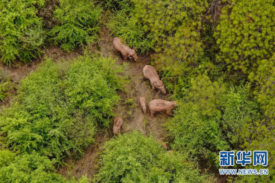 6月8日在昆明市晋宁区夕阳彝族乡拍摄的象群(无人机照片)。