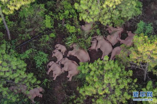 这是6月13日在云南省玉溪市易门县十街乡拍摄的象群(无人机照片)。新华社发