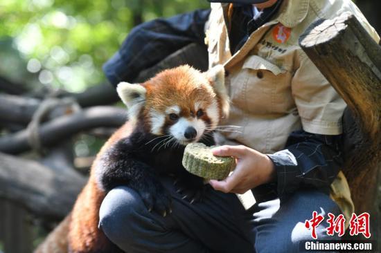 小熊猫在饲养员怀中享用特制月饼