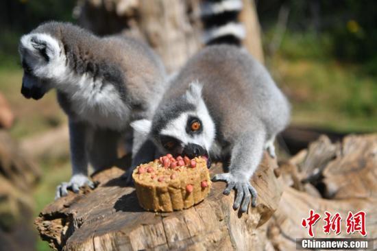 狐猴享用小朋友特制的月饼