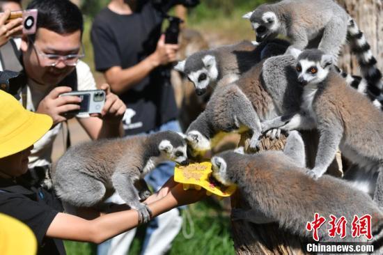 狐猴享用小朋友特制月饼