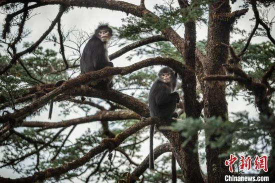 图为怒江金丝猴。 王斌 摄