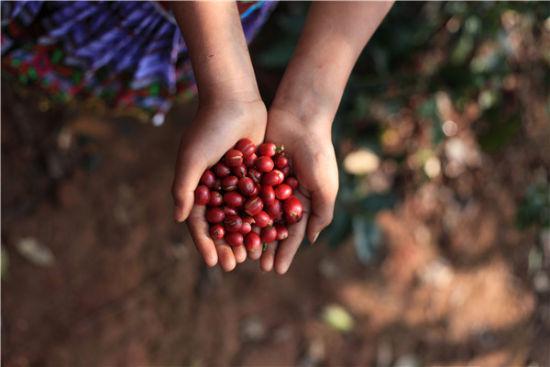 爱伲庄园刚采摘下的咖啡鲜果