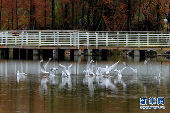 红嘴鸥在玉顺湖嬉戏(11月3日摄)。新华网发