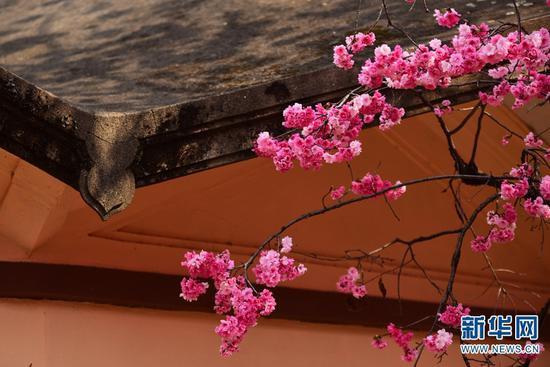 盛放的樱花。新华网发(李明 摄)