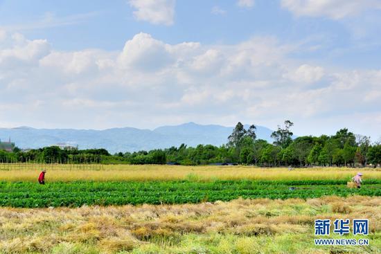 农户在田间劳作(5月3日摄)。新华网发(吴再忠 摄)
