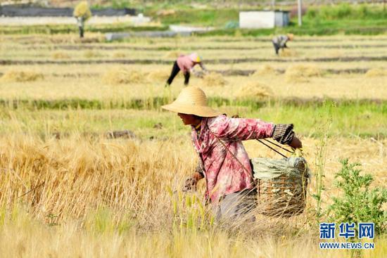 农户在收麦子(5月3日摄)。新华网发(吴再忠 摄)