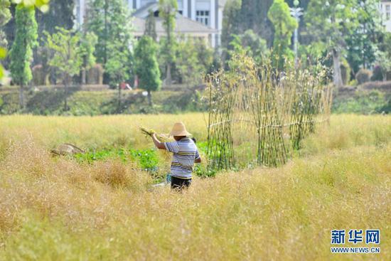 农户在收割油菜籽(5月3日摄)。新华网发(吴再忠 摄)