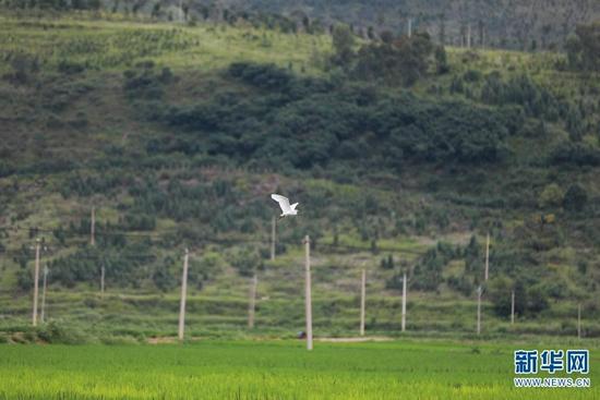 白鹭飞舞稻田间(8月13日摄)。新华网 丁凝 摄