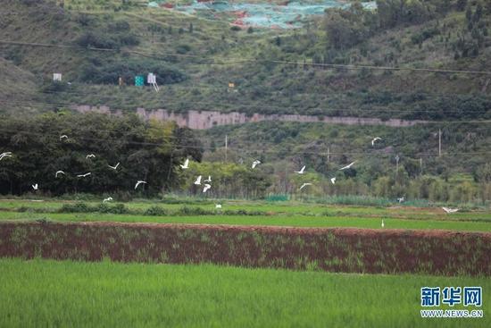 彩色稻田引来众多白鹭觅食、嬉戏(8月13日摄)。新华网 杨林洁 摄