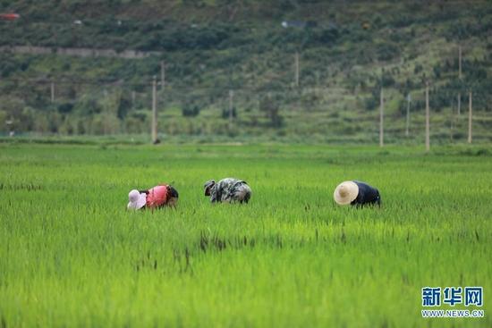 工人们正在为彩色稻田除草(8月13日摄)。新华网 丁凝 摄