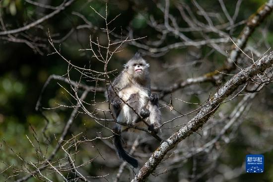 这是云南迪庆藏族自治州香格里拉滇金丝猴国家公园里的滇金丝猴(3月16日摄)。新华社记者 胡超 摄